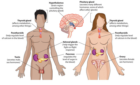 Endocrine System - Assignment